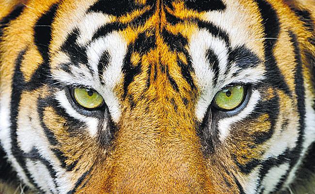 Tiger In Eturnagaram Forest area - Sakshi