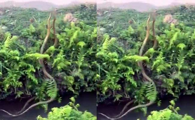 Hair Raising Video Two Snakes Fight For Dominance - Sakshi