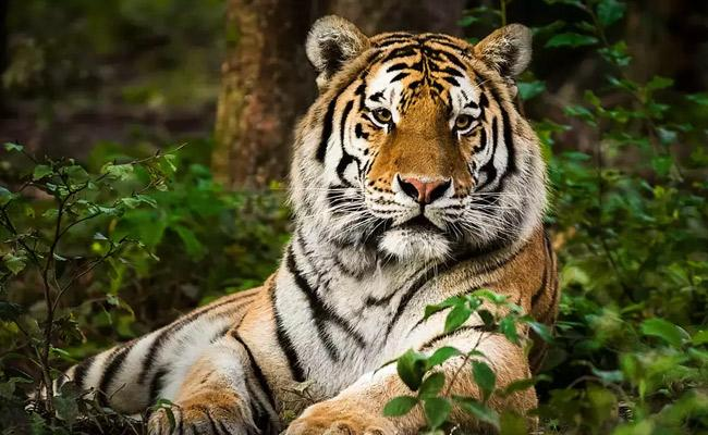 Tiger kills Zurich Zoo Employee In Front Of Visitors And Staff In Switzerland - Sakshi