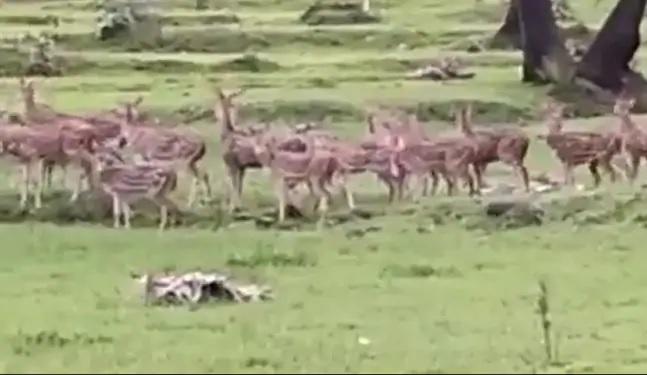 Viral Video A Herd Of Deer In The Heart Of Mumbai - Sakshi