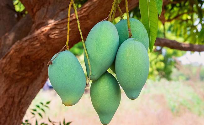 Banginapalli Mango Price All Time Record in Prakasam - Sakshi