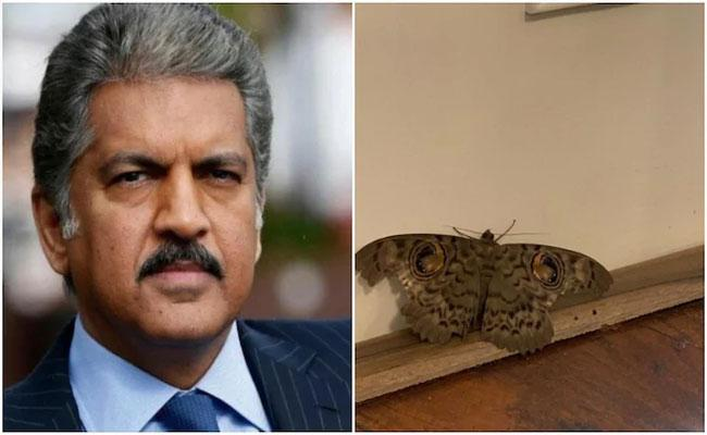 Anand Mahindra Tweet Giant Indian Owl Moth Is Just So Relatable To Us - Sakshi