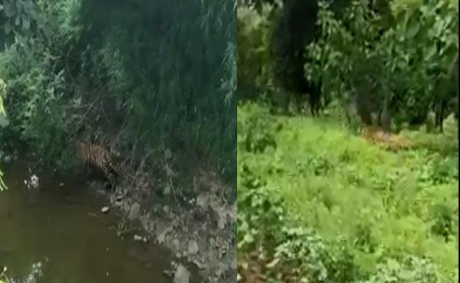 Tiger Hulchul In Adilabad Tiger Reserve Protection Zone - Sakshi