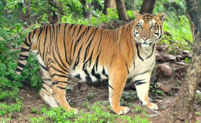 Tiger Assassinated Cow in Adilabad - Sakshi
