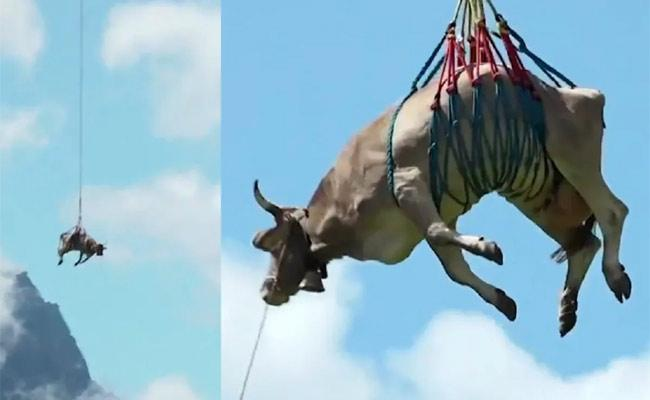 Swiss Farmer Uses Helicopter To Airlift Injured Cow Video Viral - Sakshi