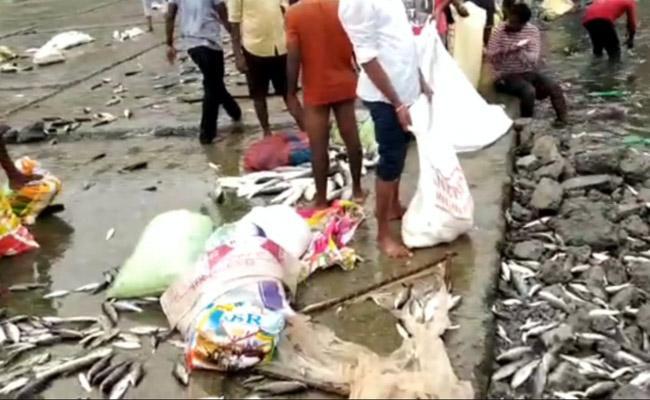 Fishes At Sundilla Barrage At Mancherial - Sakshi