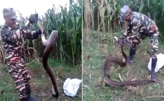 Farmers Find 2 Huge Pythons In Field Uttarakhand Watch Video - Sakshi