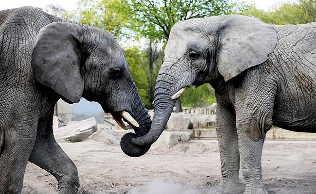 Elephants In Warsaw Zoo Will Be Given Marijuana For Stress Relief - Sakshi