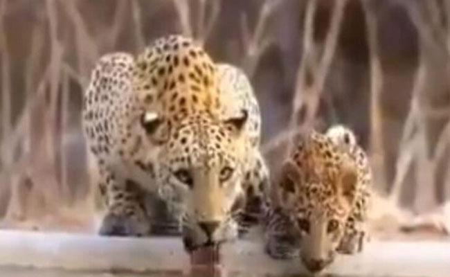 Viral Video Of Leopard Cub Drinks From Waterhole With His Mother - Sakshi