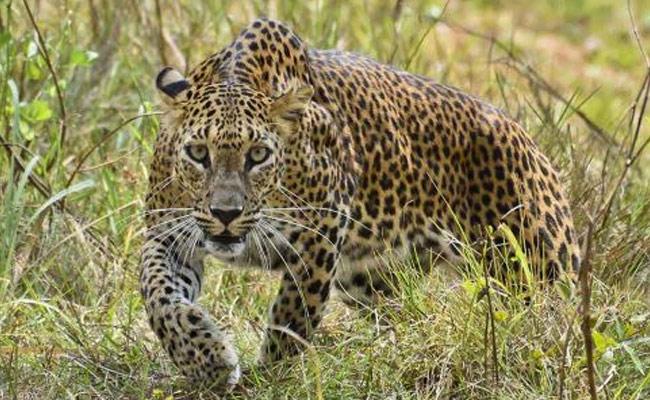 Leopard Attack On Devotees In Tirumala Ghat Road - Sakshi