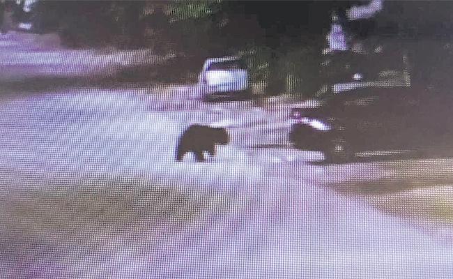 Bear Found in Husnabad CC Camera Footage Medak - Sakshi