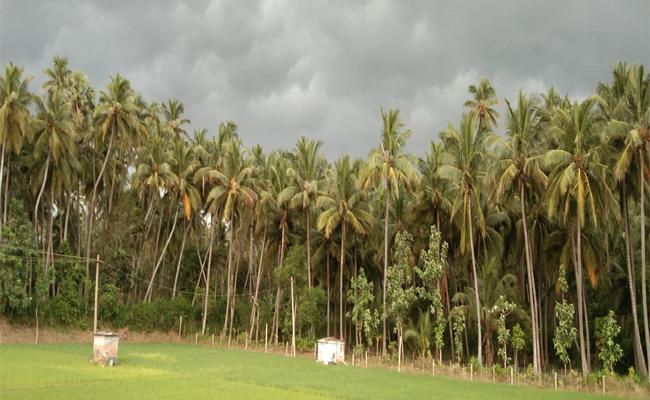 International Coconut Day Special Story In Srikakulam - Sakshi