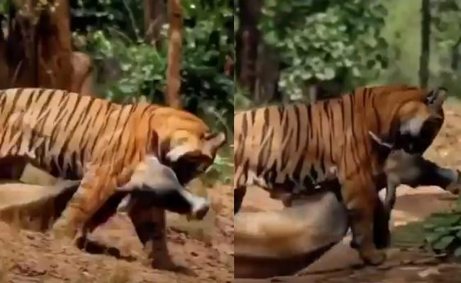 Tiger Drags Prey With His Mouth After Killing It Video Goes Viral - Sakshi
