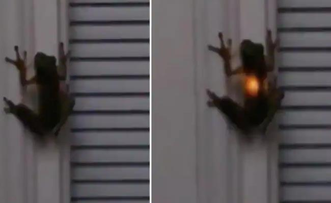 frog swallows firefly? Rare video gives the answer - Sakshi