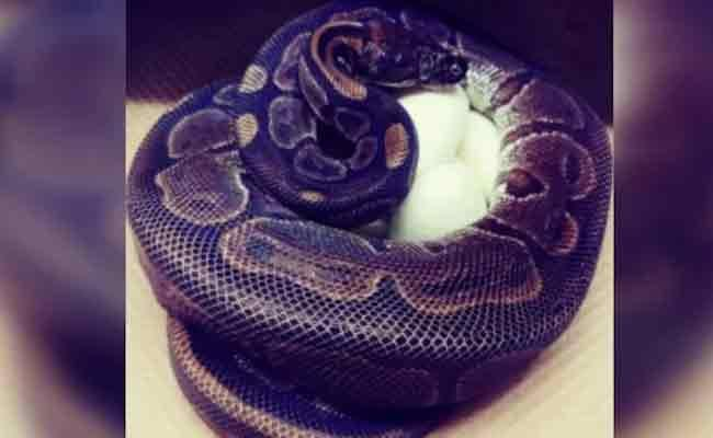 62 Year Old Python Laid 7 Eggs Without Male Help - Sakshi