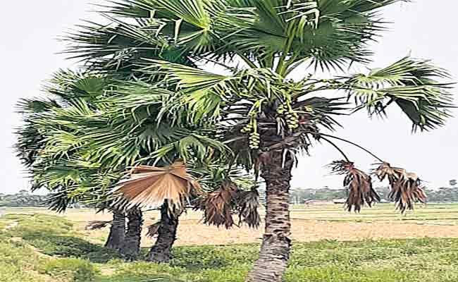 There Aare Many Benefits To Using Short Palm Trees - Sakshi