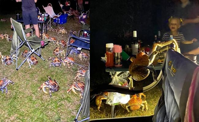Robber Crabs Attacks On Picnic Spot In Australia - Sakshi
