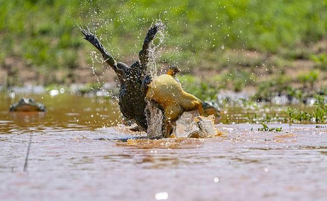 10 Inch Bullfrogs Rare Battle In South Africa - Sakshi