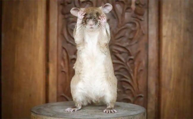 Rat Awarded PDSA Animal Bravery Award - Sakshi