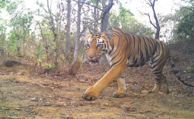 K4 Tiger Unhealthy Condition In Adilabad District - Sakshi