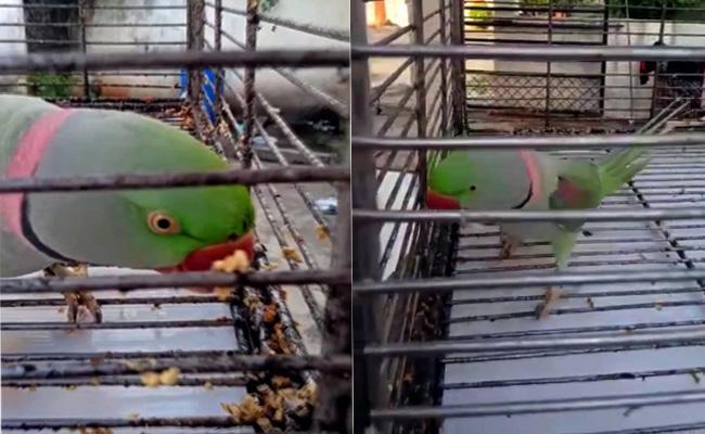 Talking Parrot Died In Bhainsa - Sakshi