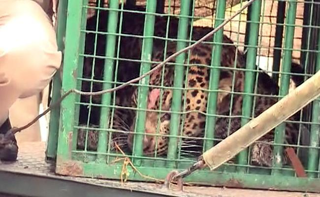 Forest Officials Trapped Leopard At Rajendra Nagar In Hyderabad - Sakshi