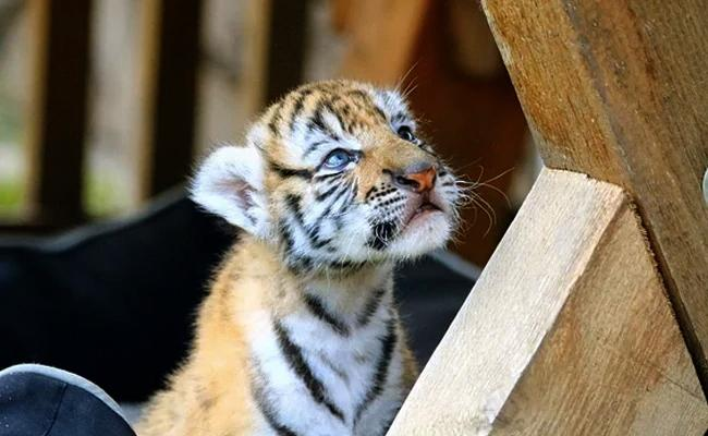 Couple Trying To Buy Cat End Up With A Tiger Cub Instead - Sakshi