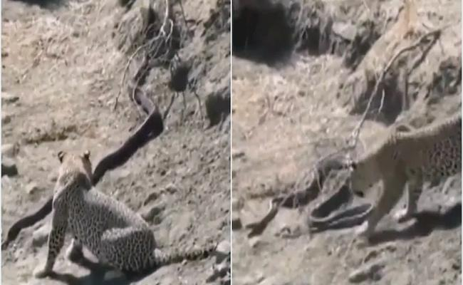 Fight Between Leopard And Python Video Goes Viral - Sakshi