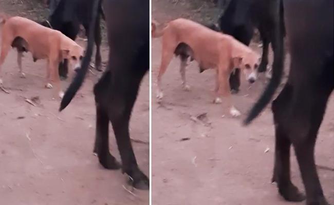 Dog Gave  Milk To Calf  In Nirmal, Adilabad  Goes Viral In social media - Sakshi