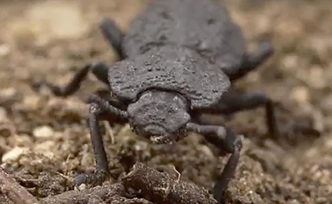 Purdue University Scientists Study On Diabolical Ironclad Beetle - Sakshi