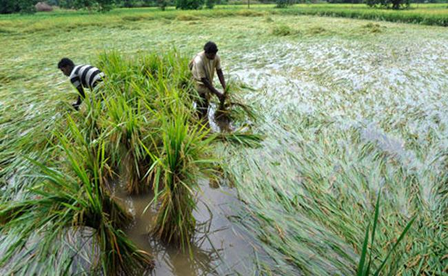 RS 113 Crores Input Subsidy Released For Crop Damage In Ap Due To Rains - Sakshi