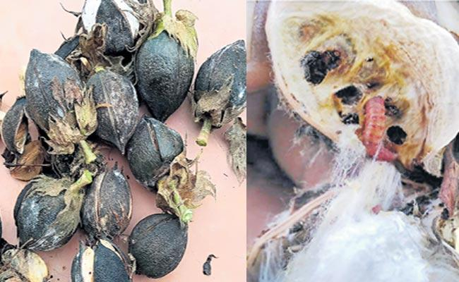 Pink Bollworm Is Effect on Cotton Crop In Telangana - Sakshi