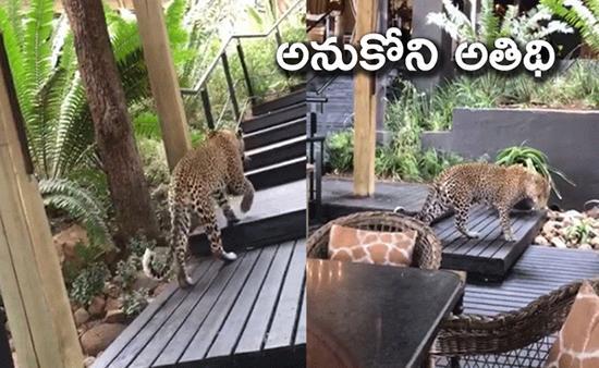 Viral Video: Leopard Strolls Inside Restaurant In South African - Sakshi