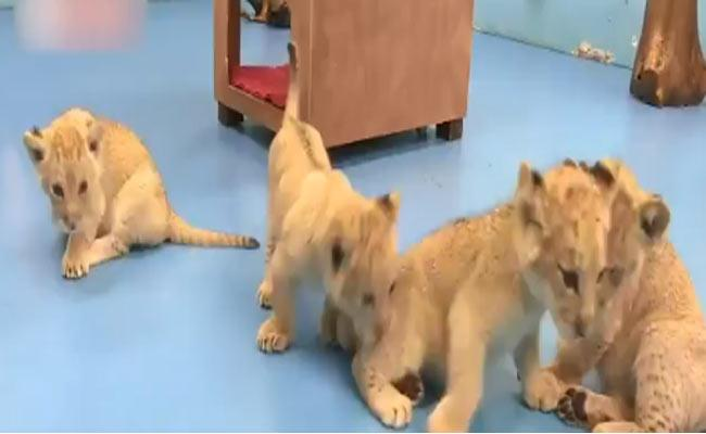 4 Extremely Rare Golden Tiger Cubs Born In China Zoo - Sakshi