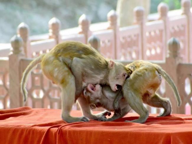 Fierce War Between Monkeys in Agra Claims Two Human Lives - Sakshi