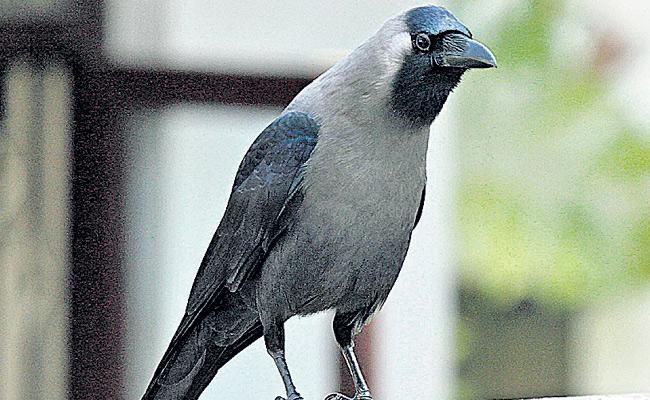 Crows Disappeared Report Released By Agriculture University - Sakshi