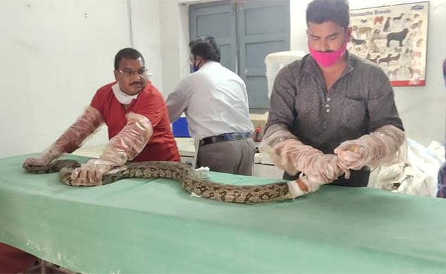Injured Python Undergoes Treatment After Rescued in Jangareddygudem - Sakshi