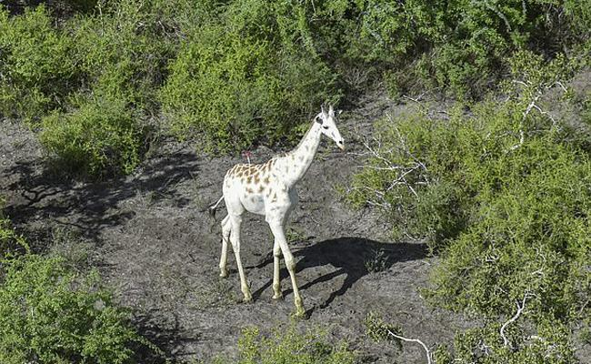 White Giraffe Fitted With GPS - Sakshi