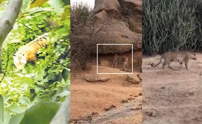 Tigers Found At Kumarambheem Asifabad And Anantapur District - Sakshi