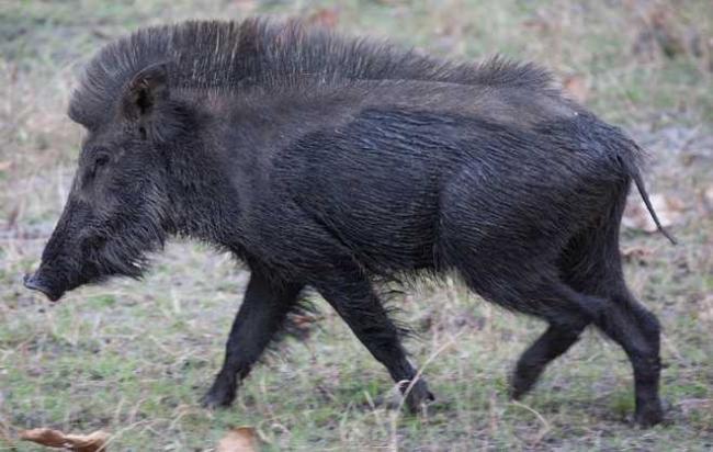 Forest Laws Preventing The Killing of Wild Boar - Sakshi