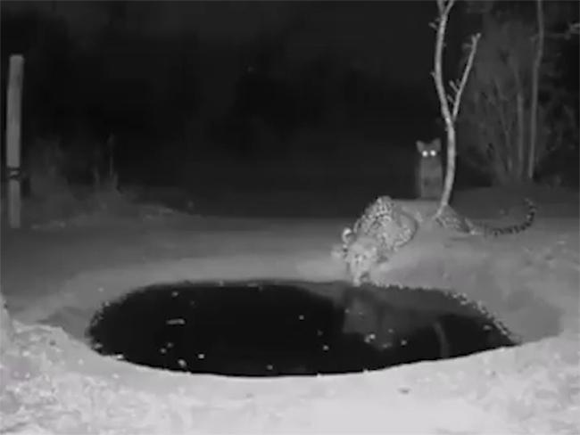 Leopard Afraid Of Camera Flash Fight Viral Video - Sakshi