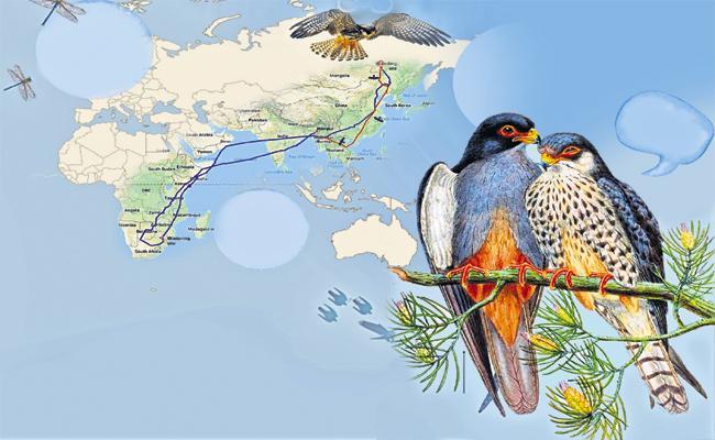 Amur Falcon Couple Fantastic Journey - Sakshi