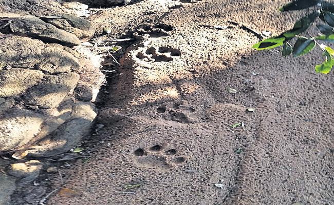 Tiger Kills An Ox At Bhadradri Kothagudem - Sakshi