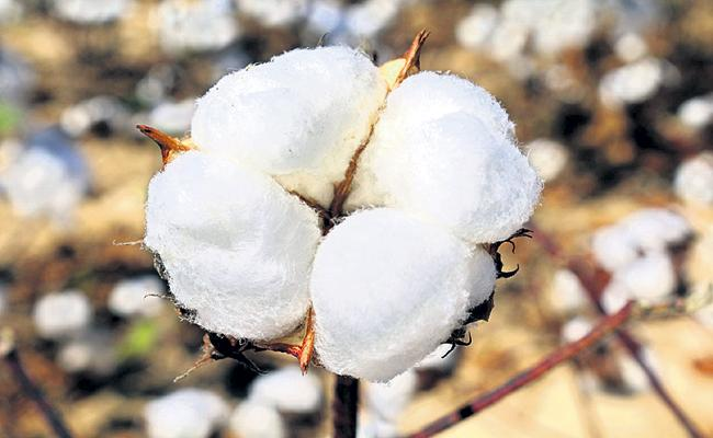 All Cotton Can Be Sold At Once In AP - Sakshi