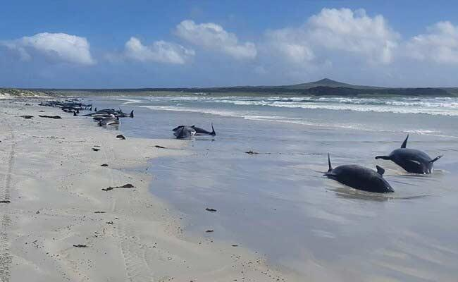 100 Whales Dead In New Zealand After Mass Stranding - Sakshi