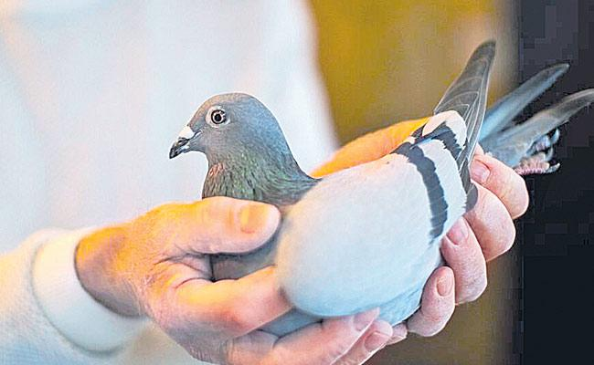 Racing Pigeon Named New Kim Sold For Record Price - Sakshi