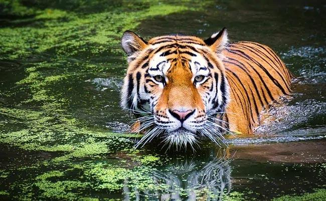 Madhya Pradesh Loses 26 Tigers In 2020 - Sakshi