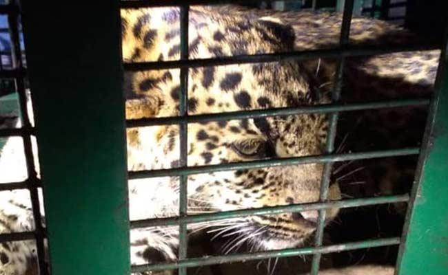 leopard hiding inside dehradun airport rescued - Sakshi