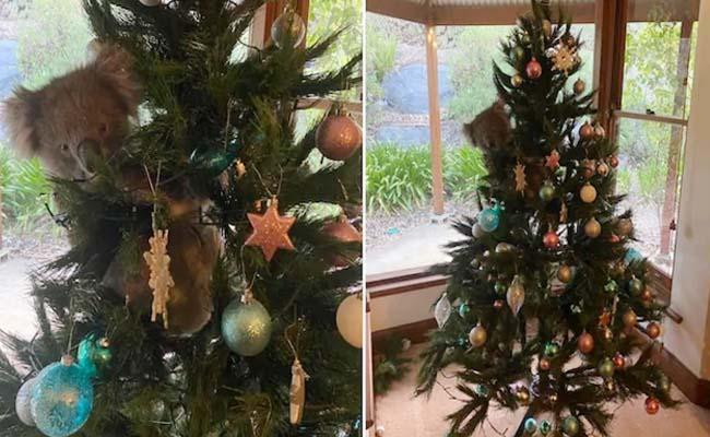 Viral Video: Koala Hanging From Christmas Tree In Australia - Sakshi