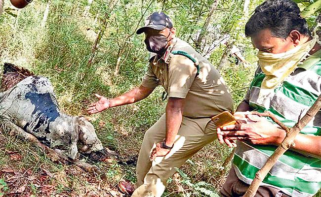 Forest Officials Have Identified Cow Carcass Was  Killed By Tiger - Sakshi